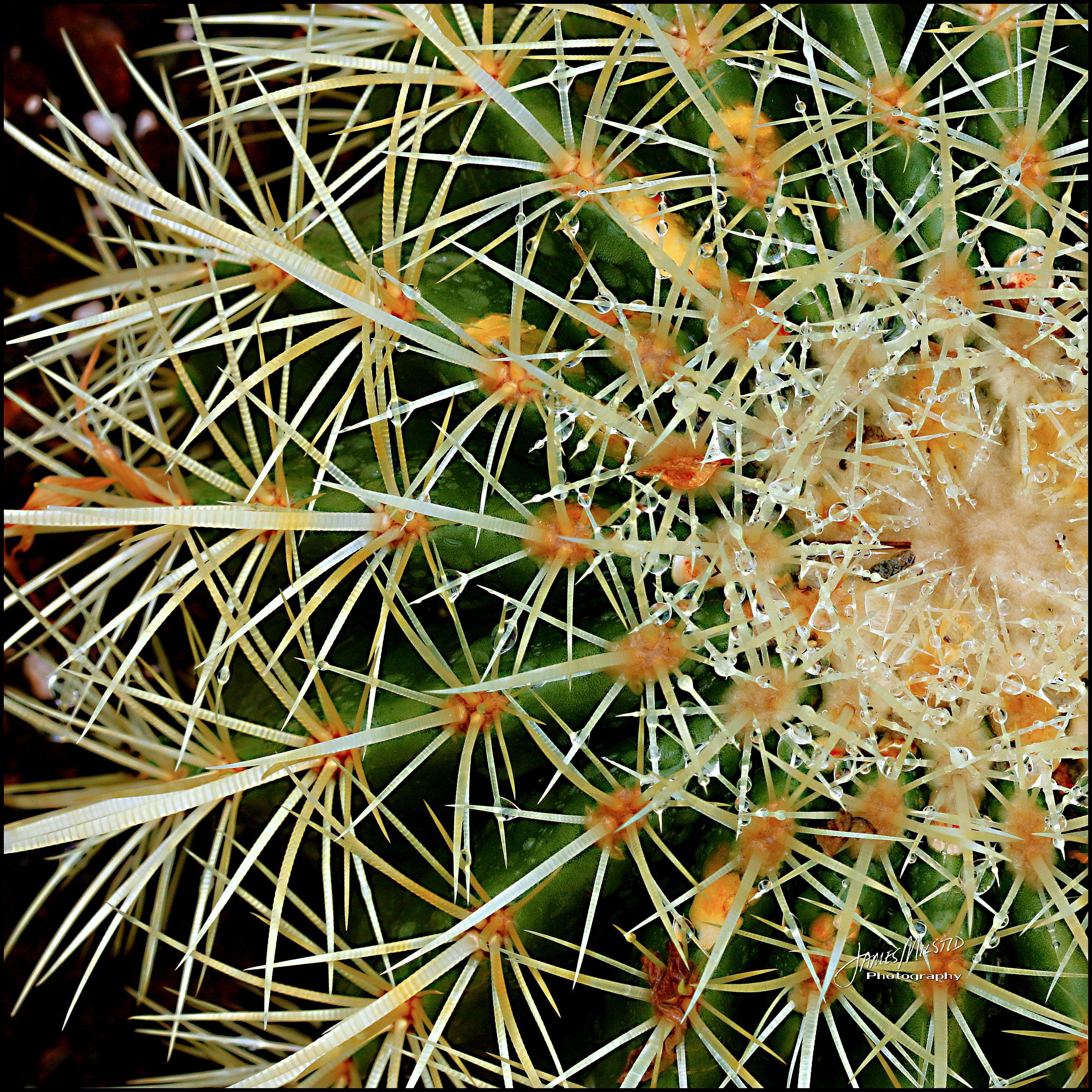 Golden Barrel Cactus - by James Milstid